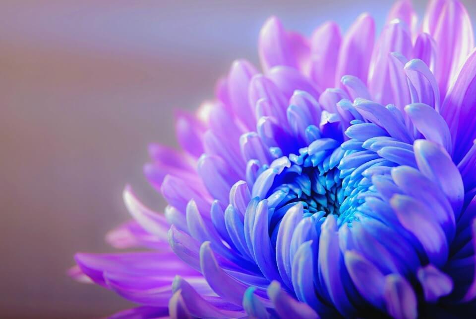fiore-risa-viola-blu